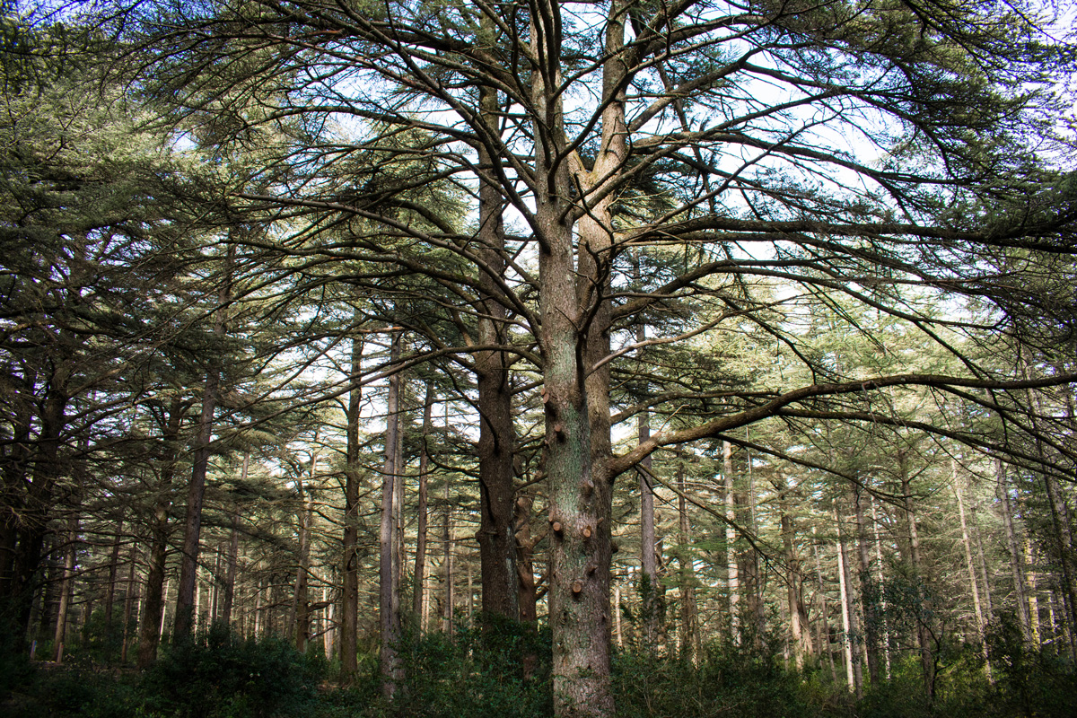 cedar forest near bonnieux