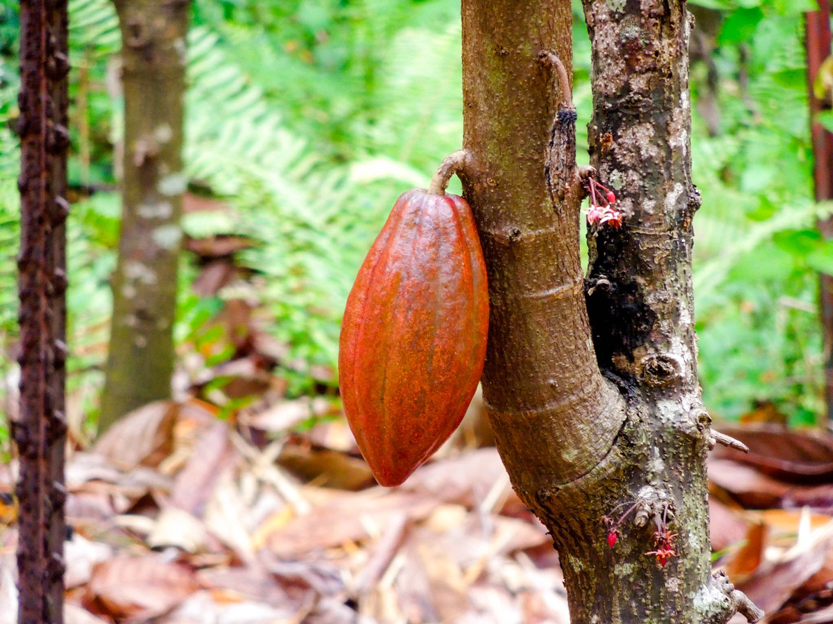 No, it's not a football tree, it's cacao!