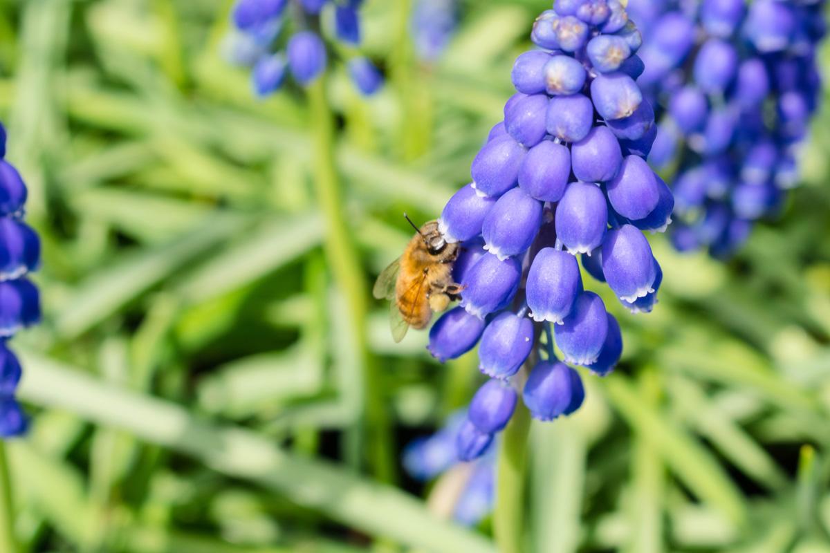 Skagit Valley Tulip Festival -Roozengaarde - Grape Hyacyinth - Honeybee