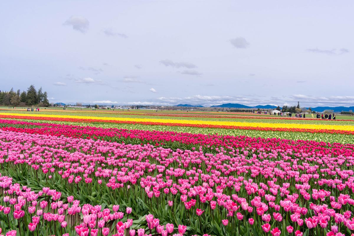 Skagit Valley Tulip Festival Tulip Town tulip fields