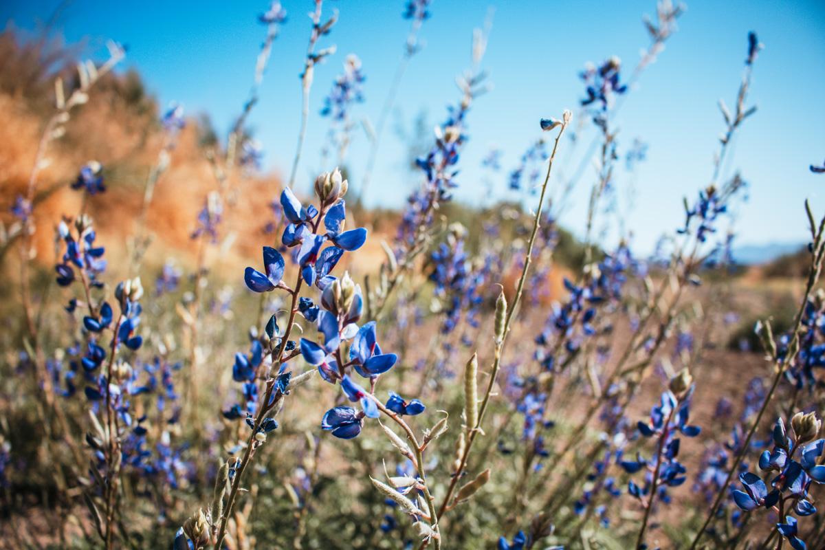 Bluebonnets in Big Bend - by Riley Hersuka