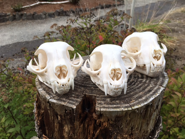 Bobcat Skulls3.JPG