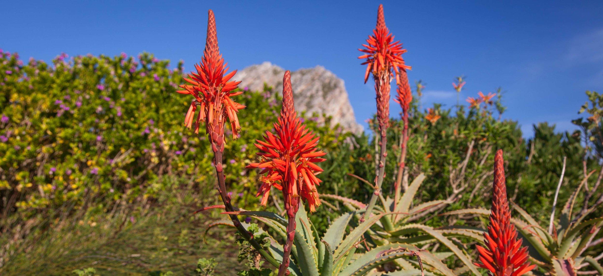 Aloe Vera growing in Pringle Bay Biosphere