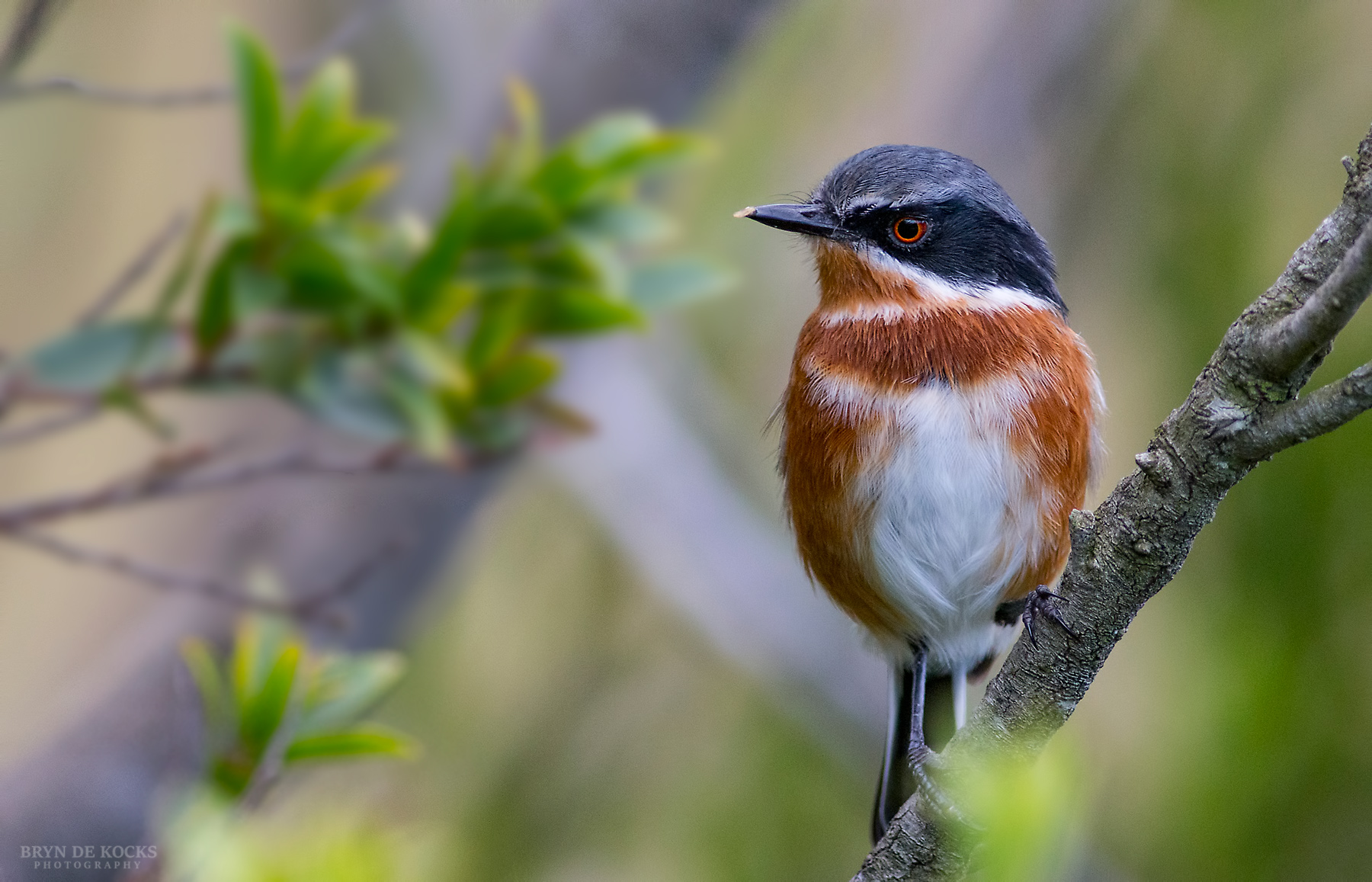 Small brown and white bird in the Pringle Bay Biosphere