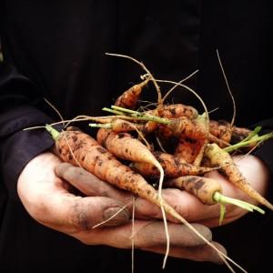 carrots-in-hand-1-300x300.jpg