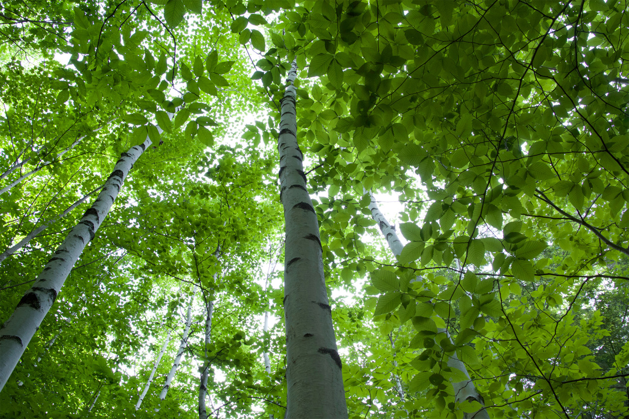 Look up at green trees forest woods.jpg