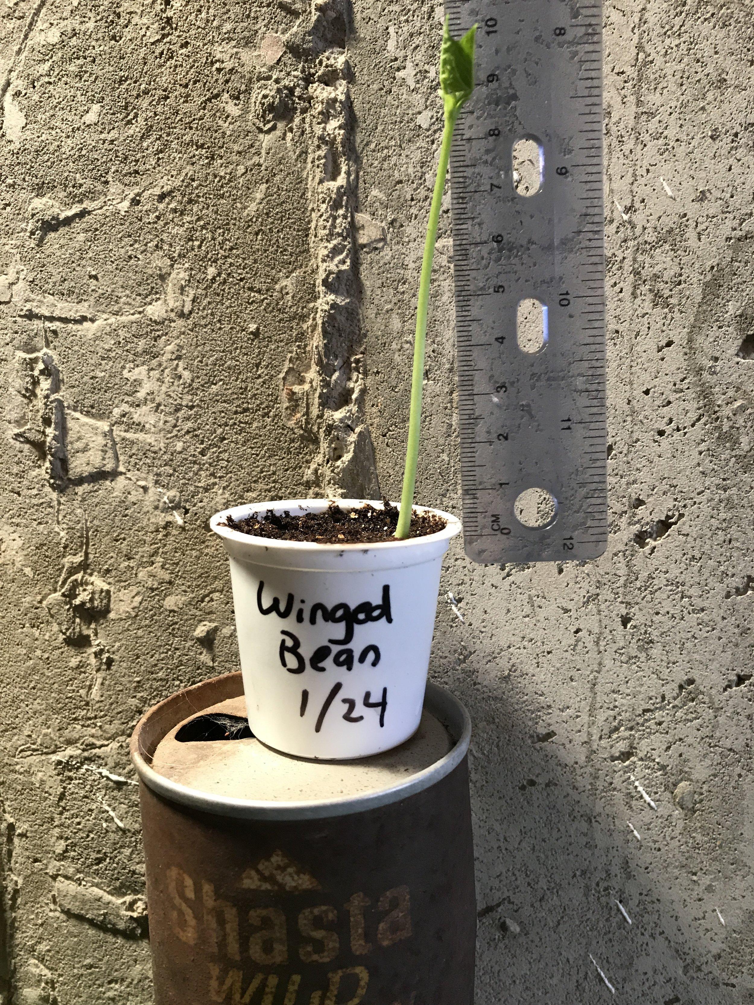 Winged Bean 4.JPG