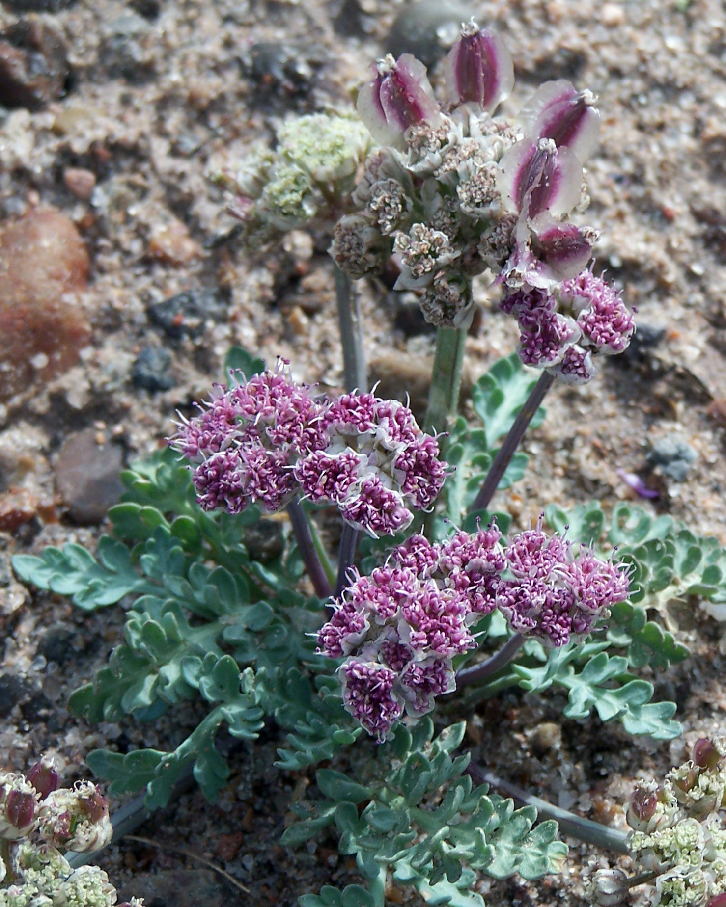 Bulbous Spring Parsley: Tasty - A NATiVE, early-Spring, DROUGHT-TOLERANT root vegetable.