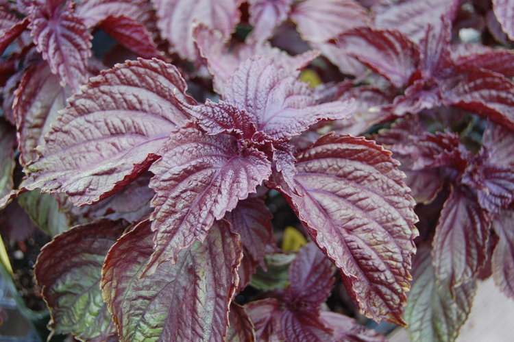Shiso - A delicious SPICE, TEA, and MEDICINE