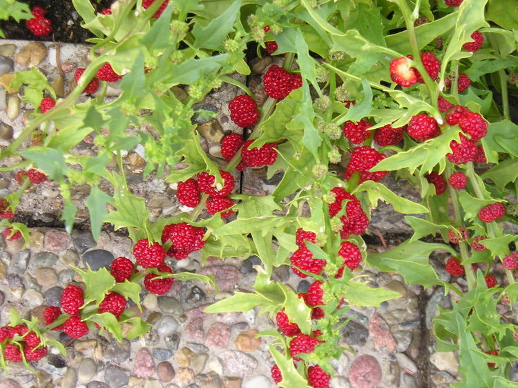 Strawberry Spinach - NATIVE, EAST-TO-GROW, BERRIES