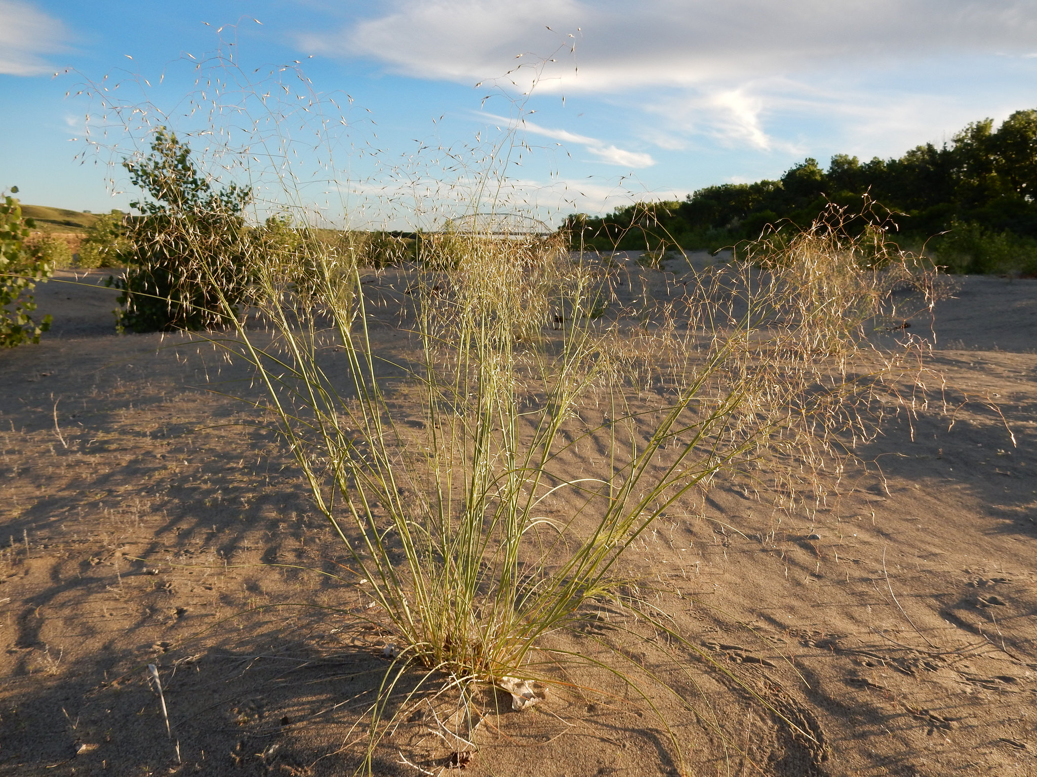 Ricegrass - DRY-LAND RICE that is an ATTRACTIVE ORNAMENTAL