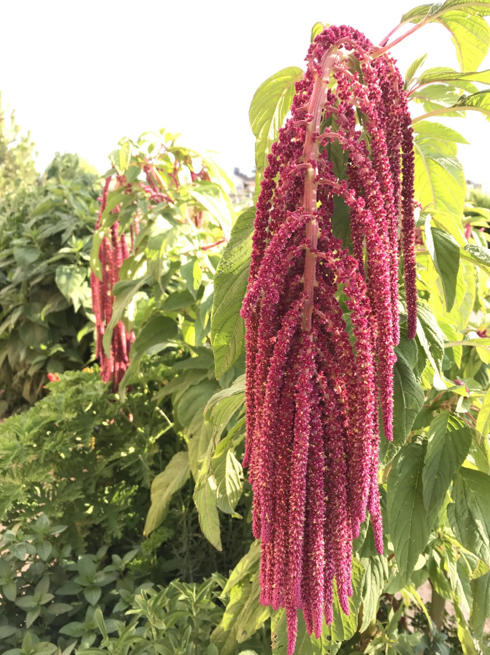Love Lies Bleeding - A SEED CROP with a horrifically bloody history.