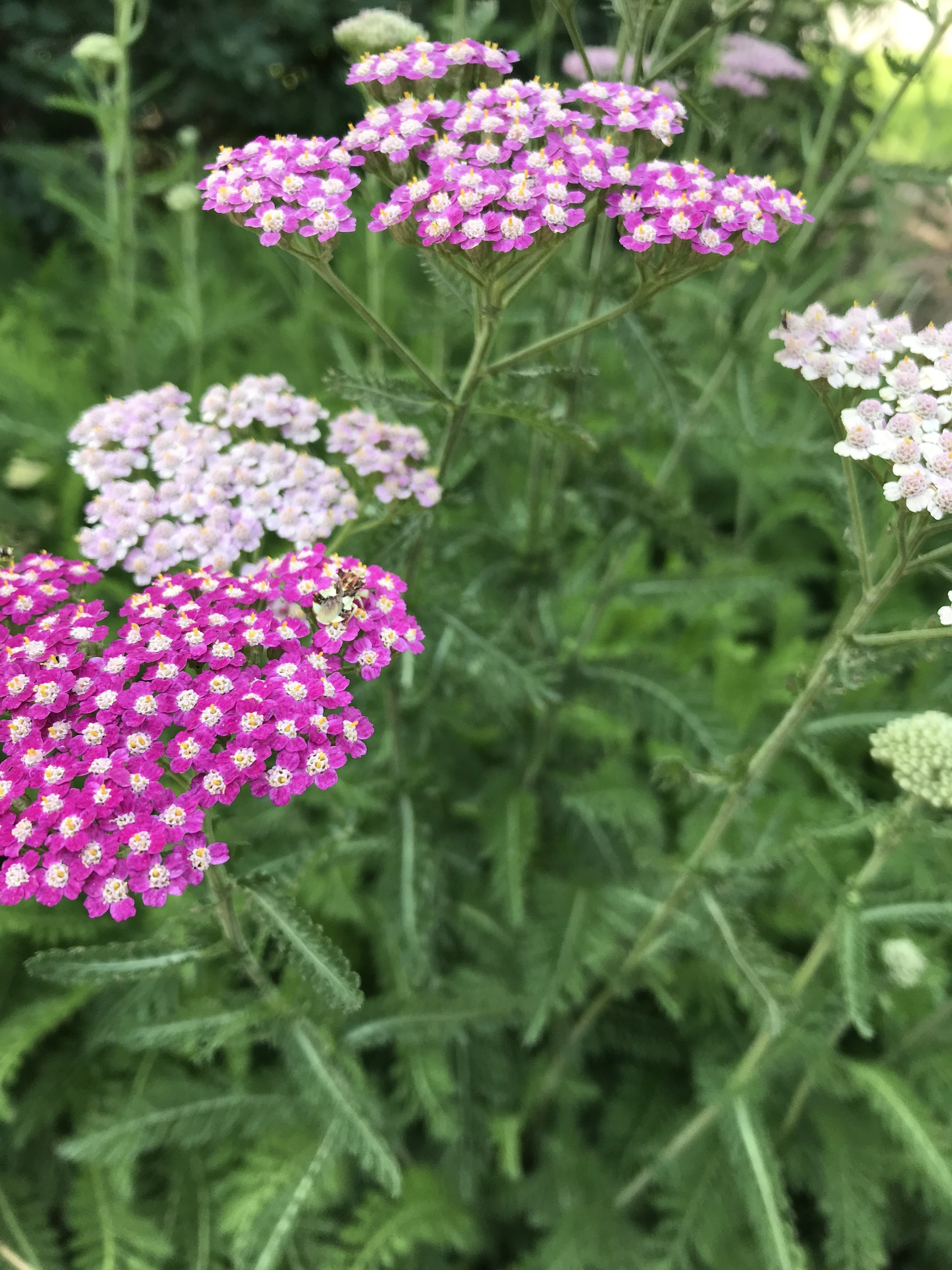 Image 1:  Achillea millefolium  in flower. If you look closely, you'll notice that each flower is actually a compound of smaller flowers; this is a characteristic of Asteraceae family members like the dandelion and the sunflower. Taken by the author: Kevin Healey.