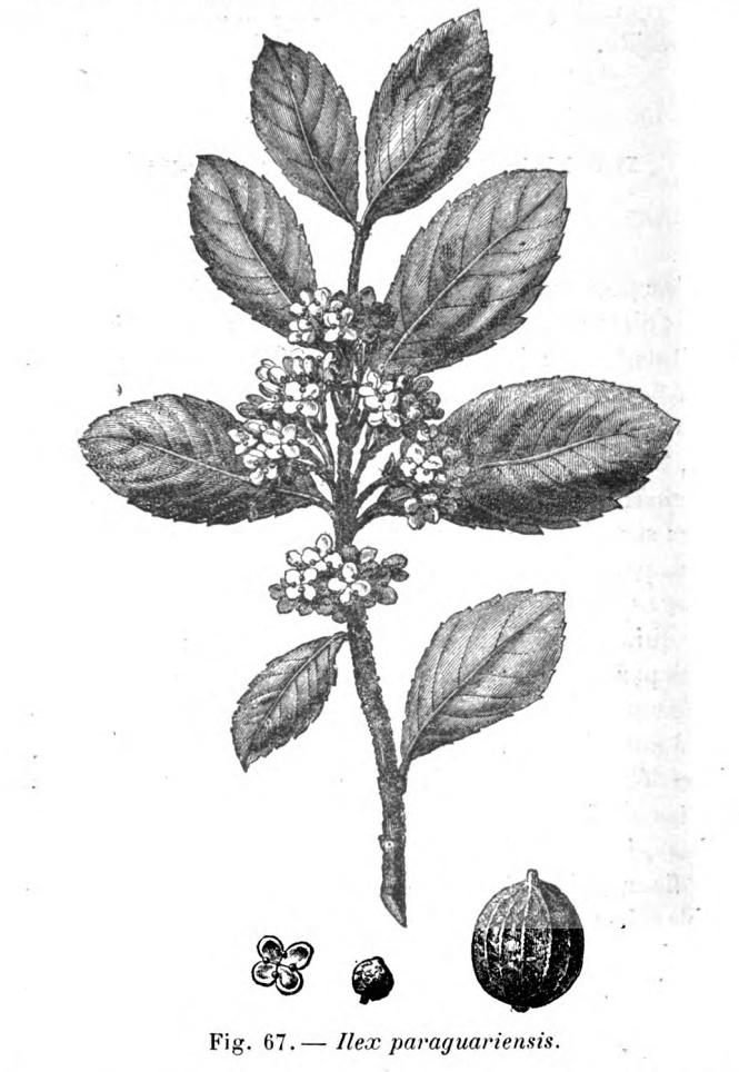 Creative Commons image retrieved from: Jumelle, H. (1901).  Les cultures coloniales, plantes industrielles & médicinales.  Paris: J.B. Baillière et Fils.