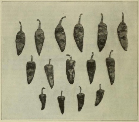 Dr. Fabián Garciá's Work in Breeding Chiles Laid Bare. Bottom row: four native chilies. Middle row: five undesirable intermediate types. Top row: six improved chilies labeled, No. 9, in one of Garciá's study.  Garciá, F. (1916). Chile Pepper Culture.  The New Mexico Farm Courier,   4 (3), 638.
