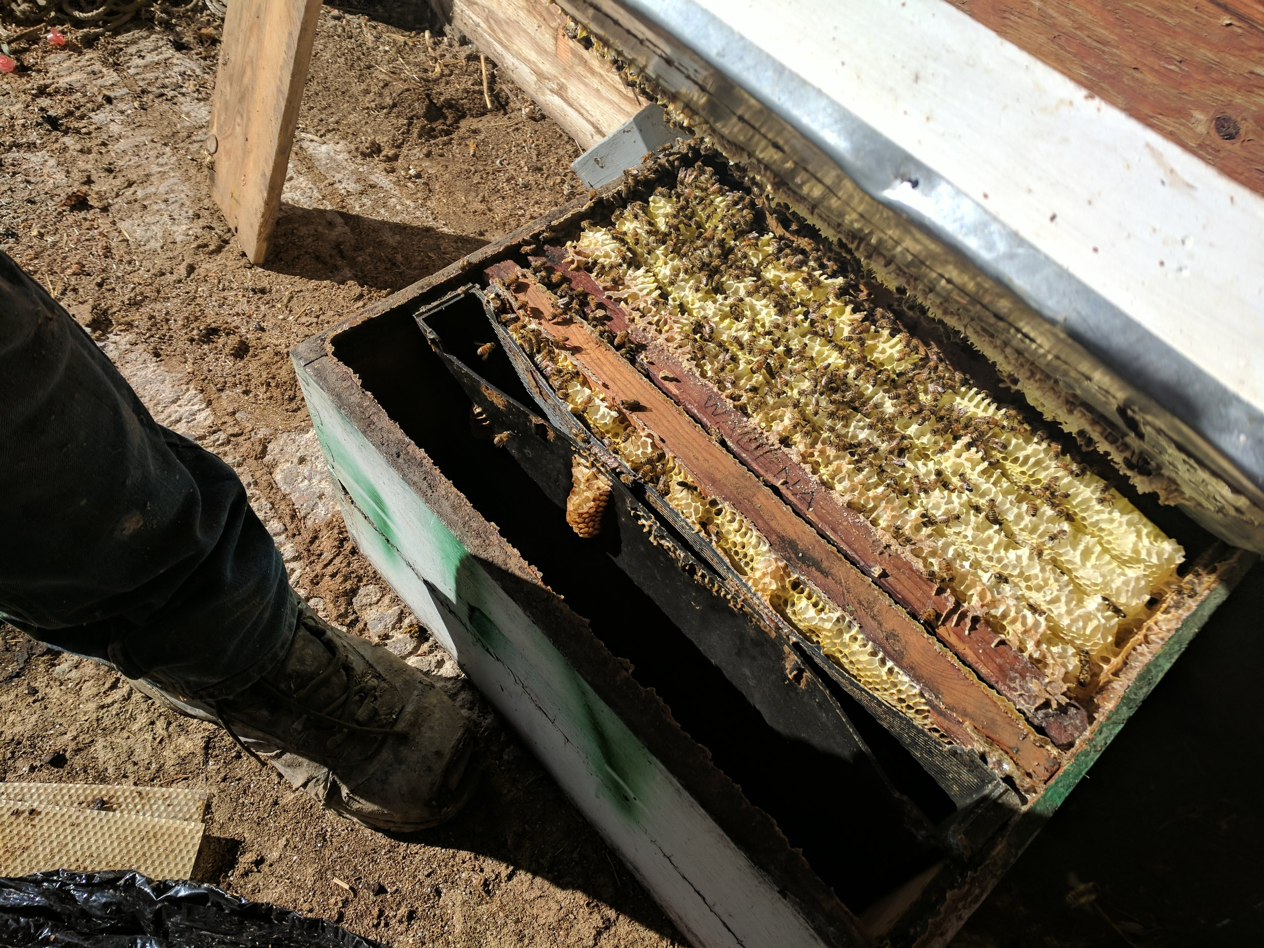 """This beehive was a swarm! We were not aware of this until we went to move what we thought was an empty box! Look at how the bees built """"frames"""" by the man made wood ones. This swarm was found too late in the year to survive the winter by itself so it was added to another beehive."""