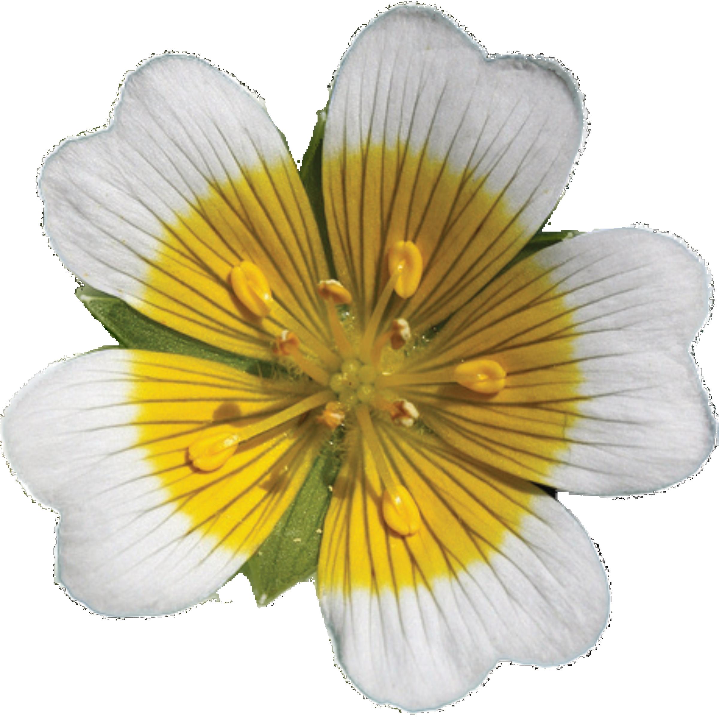 MEADOWFOAM FLOWER.png