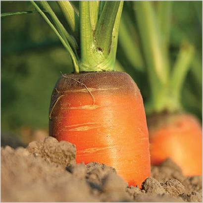 Plant vegetables