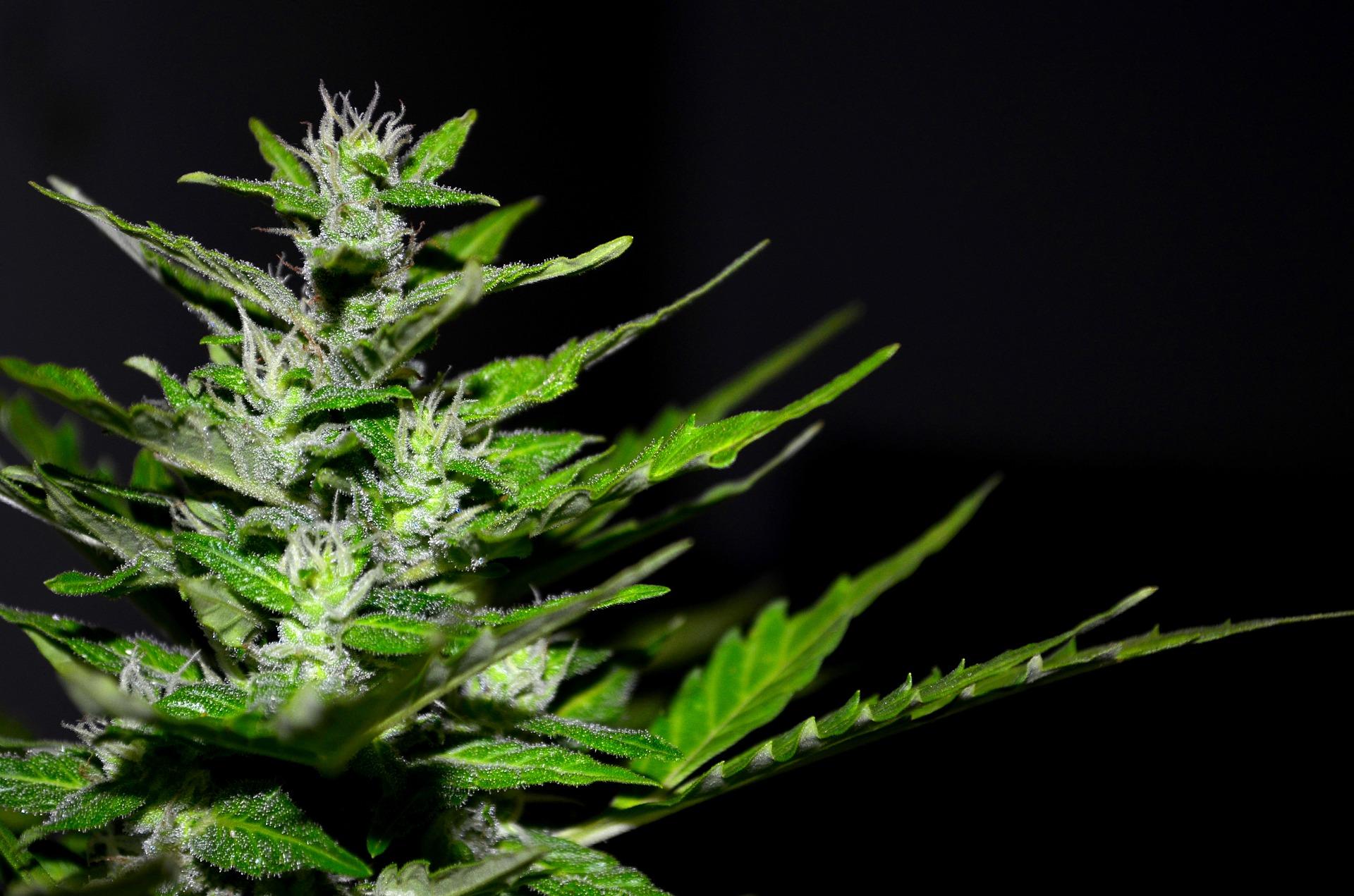 cannabis-2761102_1920.jpg
