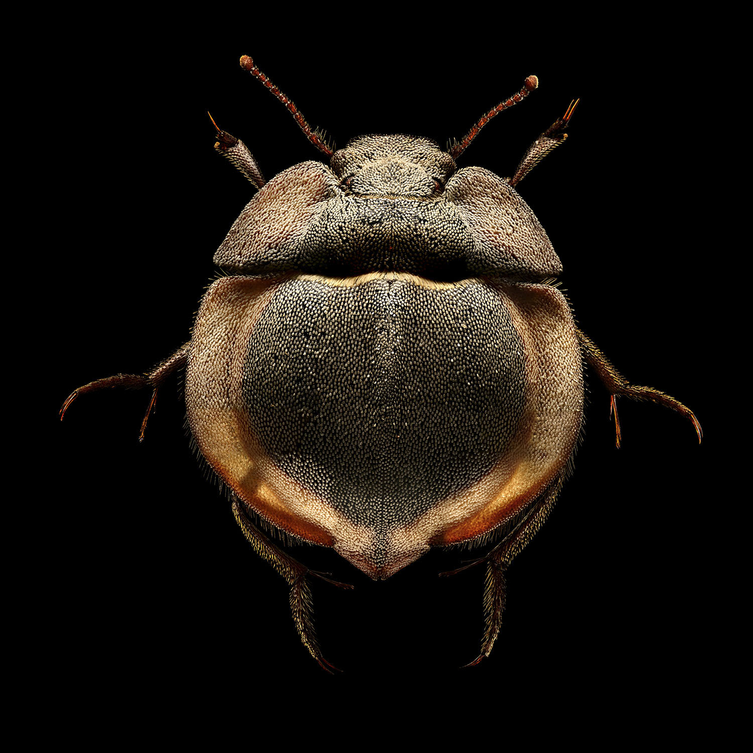 Flying Saucer Trench Beetle