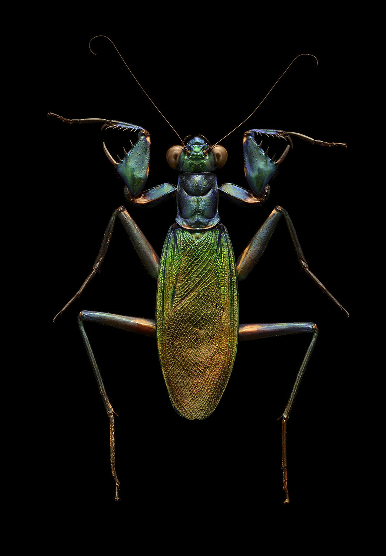 Iridescent Bark Mantis