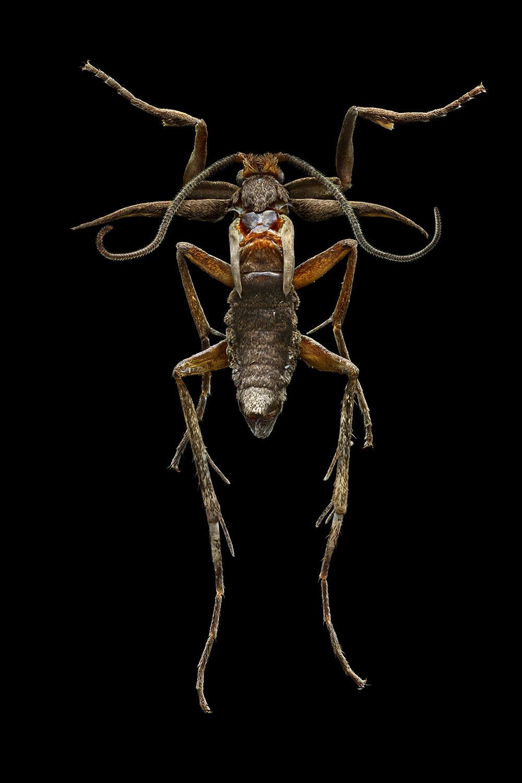 Marion Flightless Moth