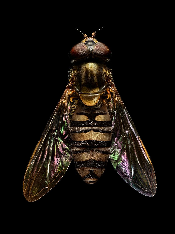 Marmalade Fly