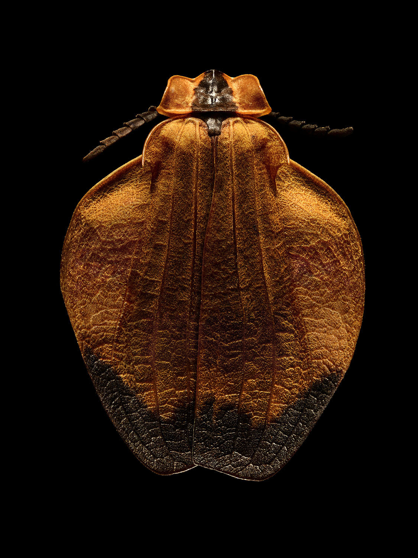 Oranged-netted Winged Beetle