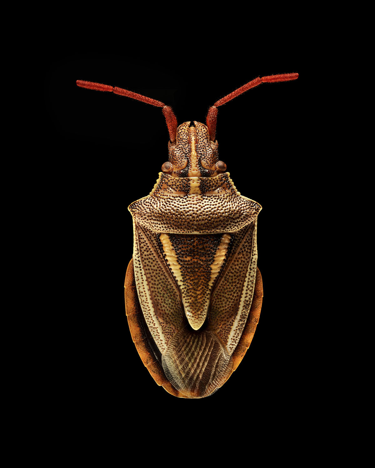 Shield Bug, collected by Charles Darwin