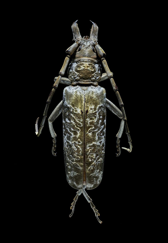 Silver Longhorn Beetle