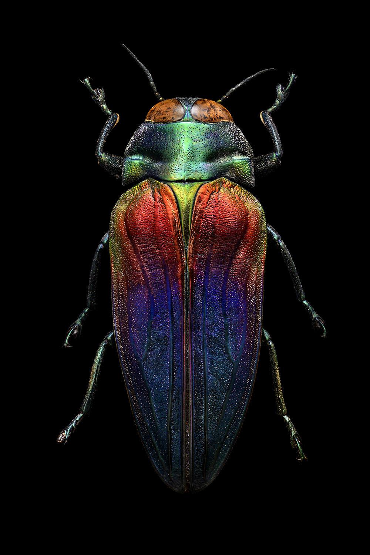 Tricoloured Jewel Beetle