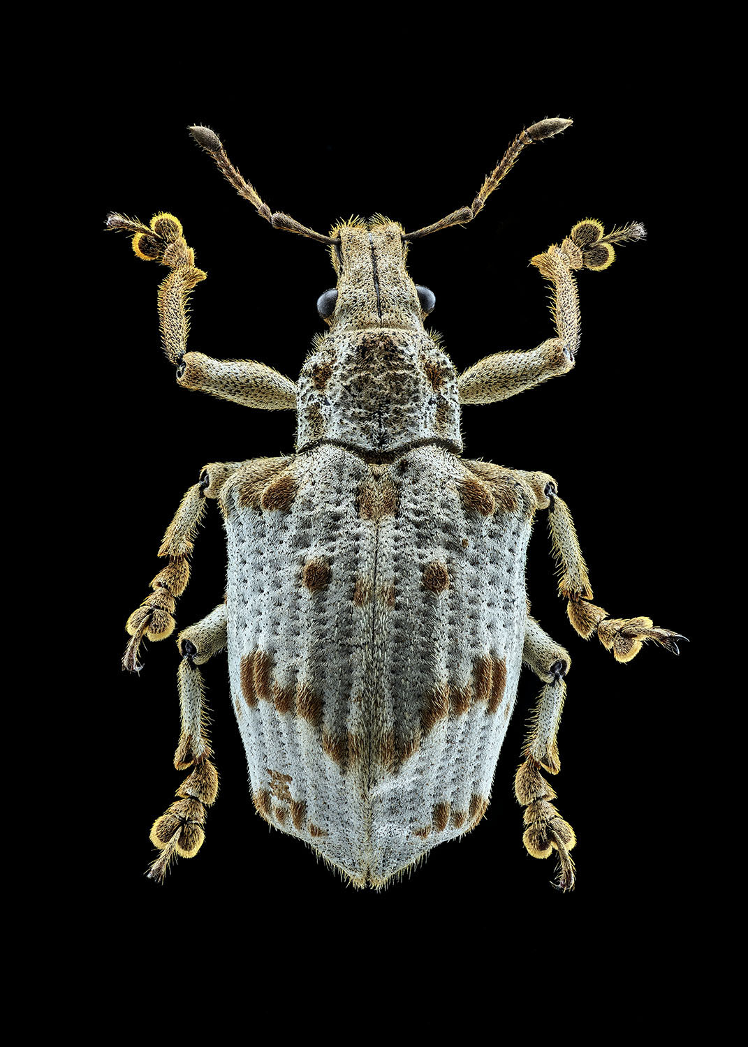 White Short Nose Weevil