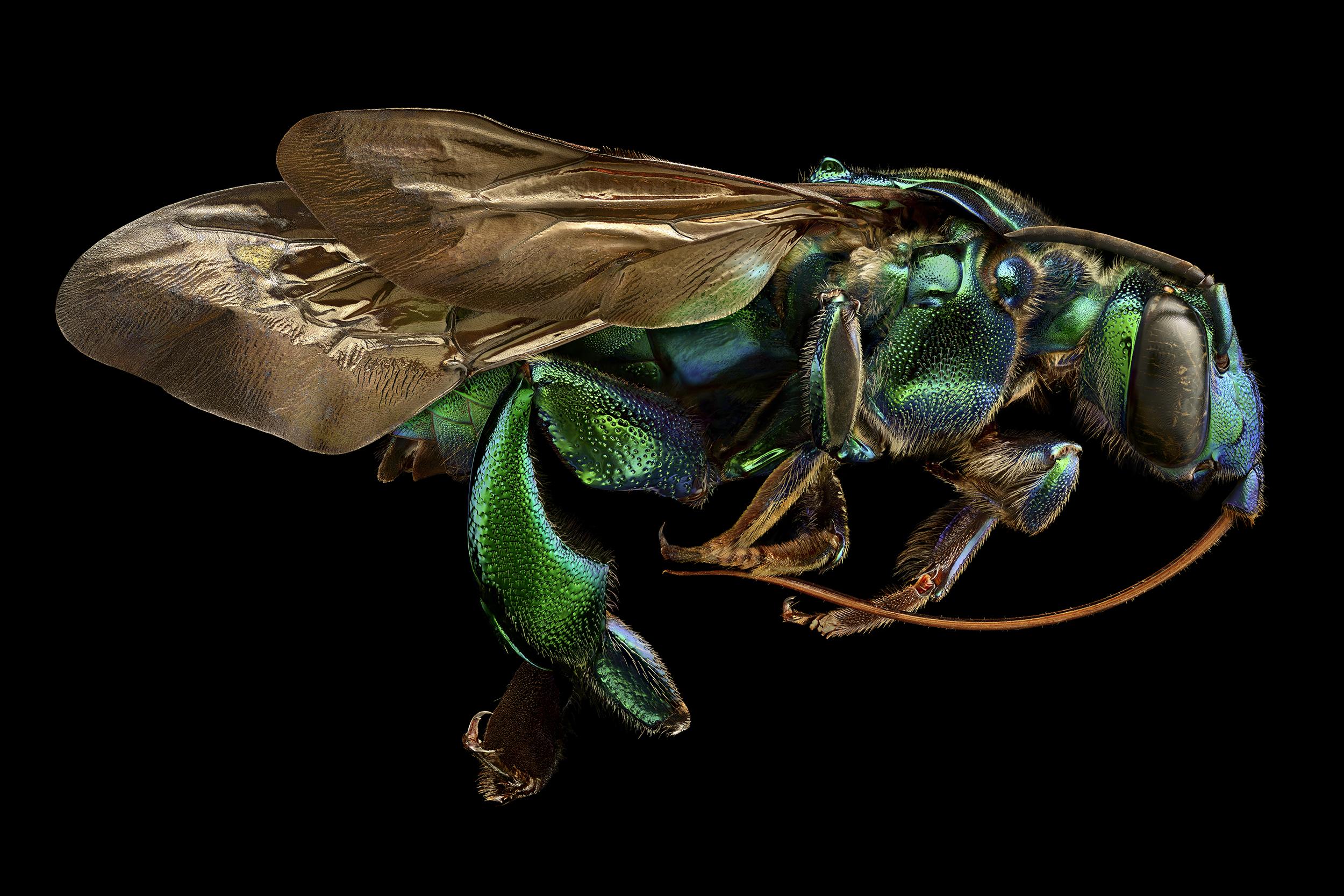 Orchid Cuckoo Bee