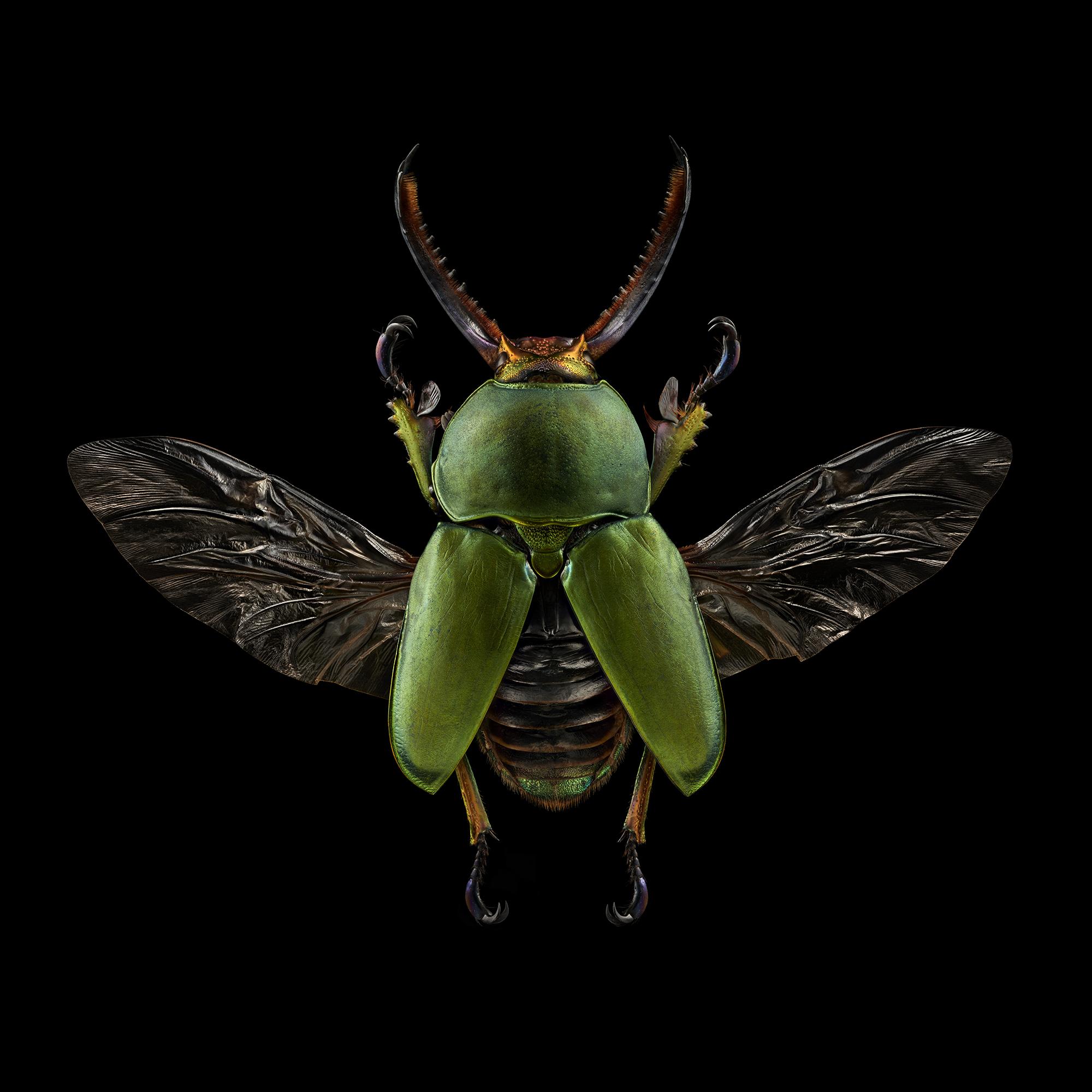 Saw Tooth Beetle