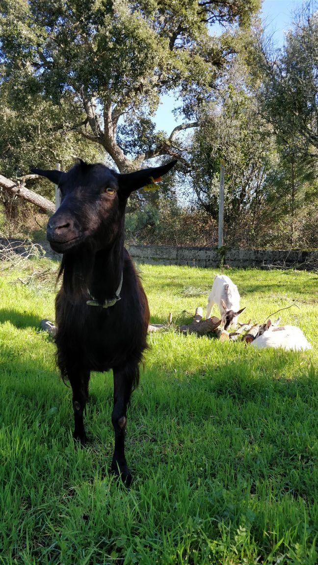 ada the goat.jpeg
