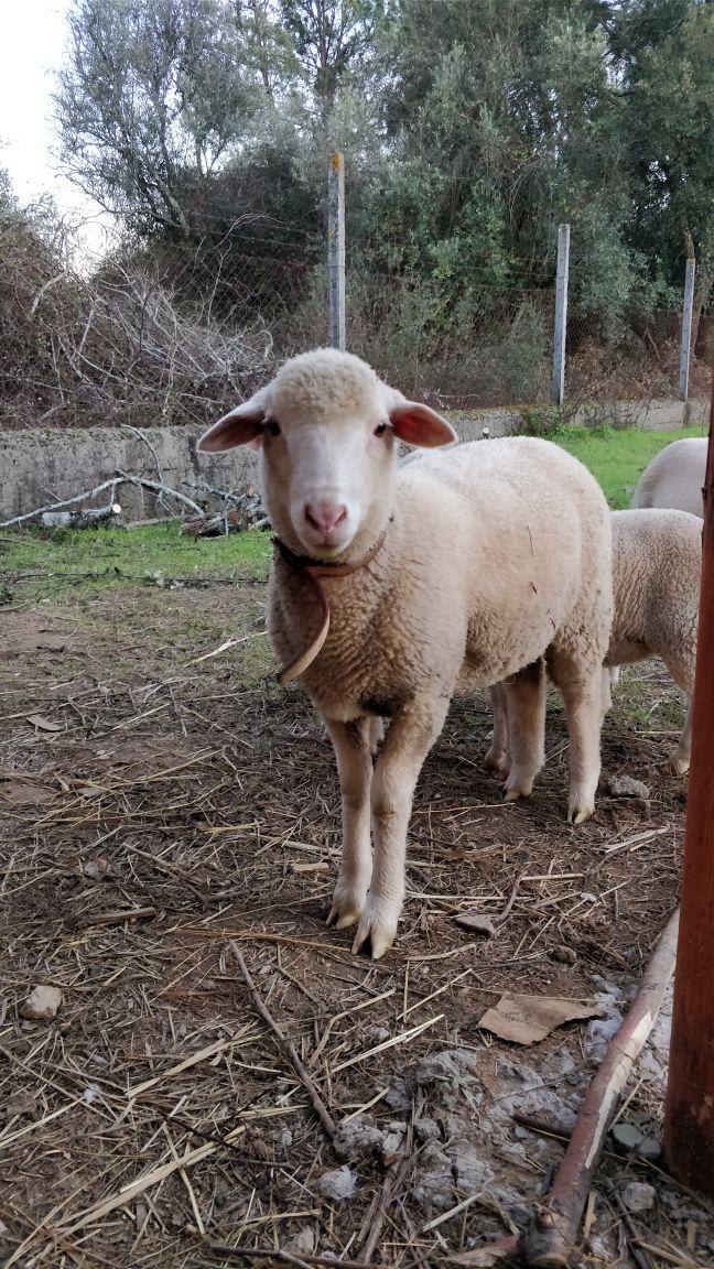 the sheep.jpeg