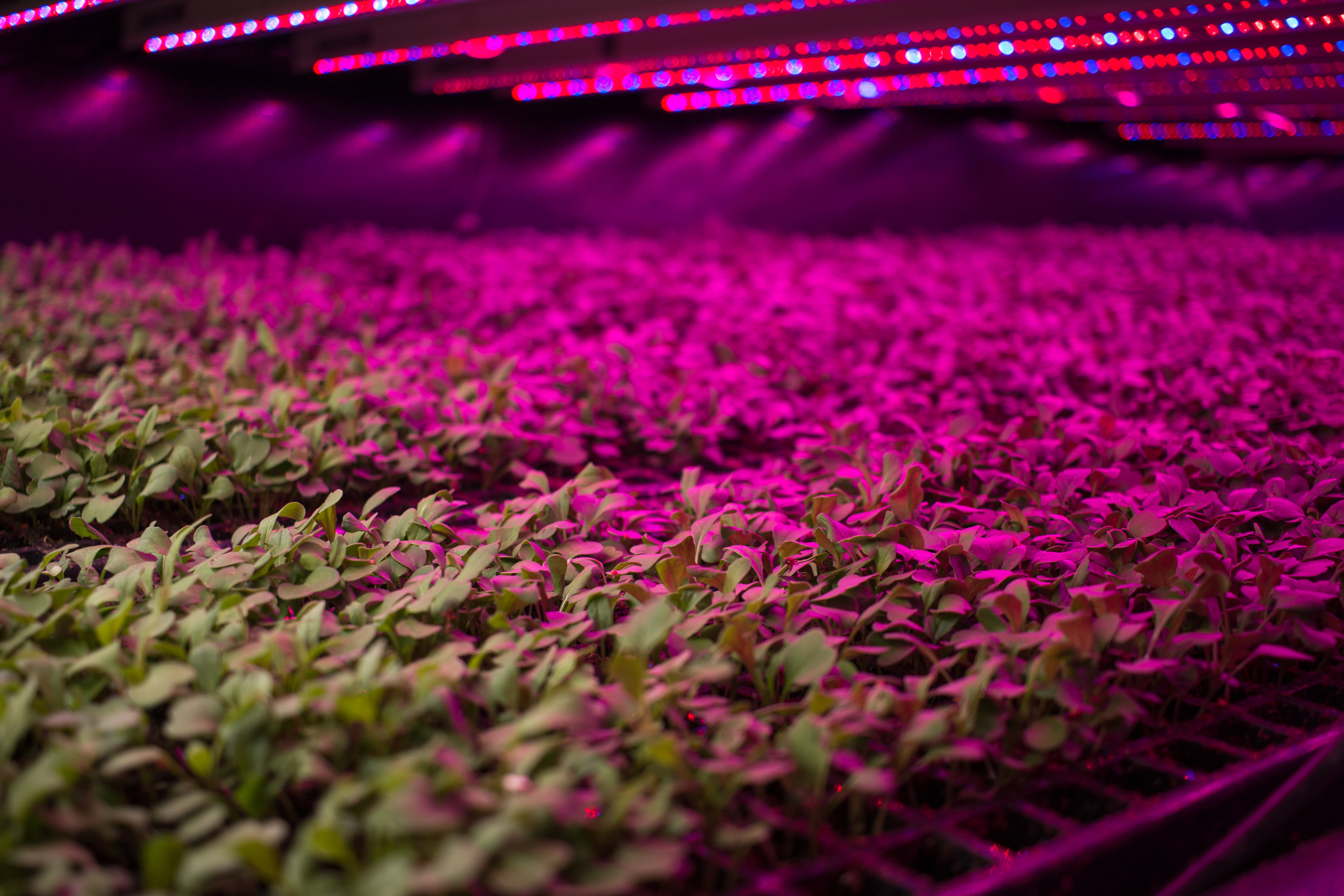 Peas Pink LED Farm.jpg