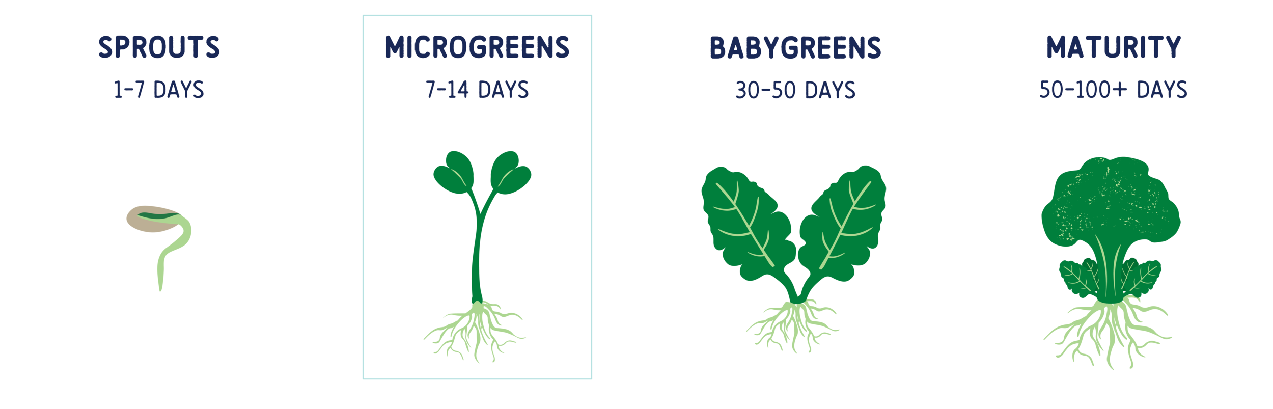 Above is a visualization of the growth cycle of a Broccoli plant from germination to maturity, with the microgreen stage highlighted.