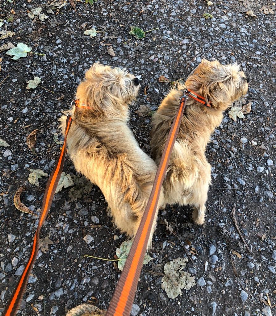 Reg and Bob on a Winter walk wearing orange stripe collar and lead