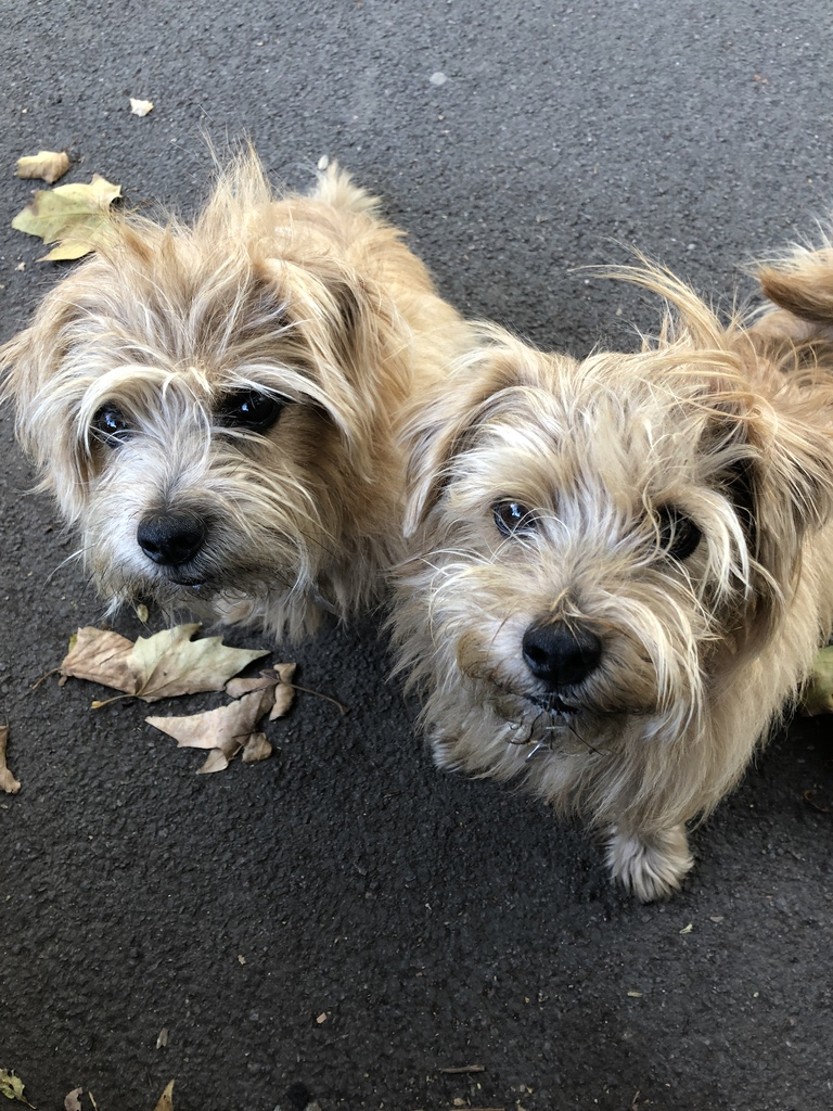 Norfolk terriers Reg and Bob on a wintery windy day