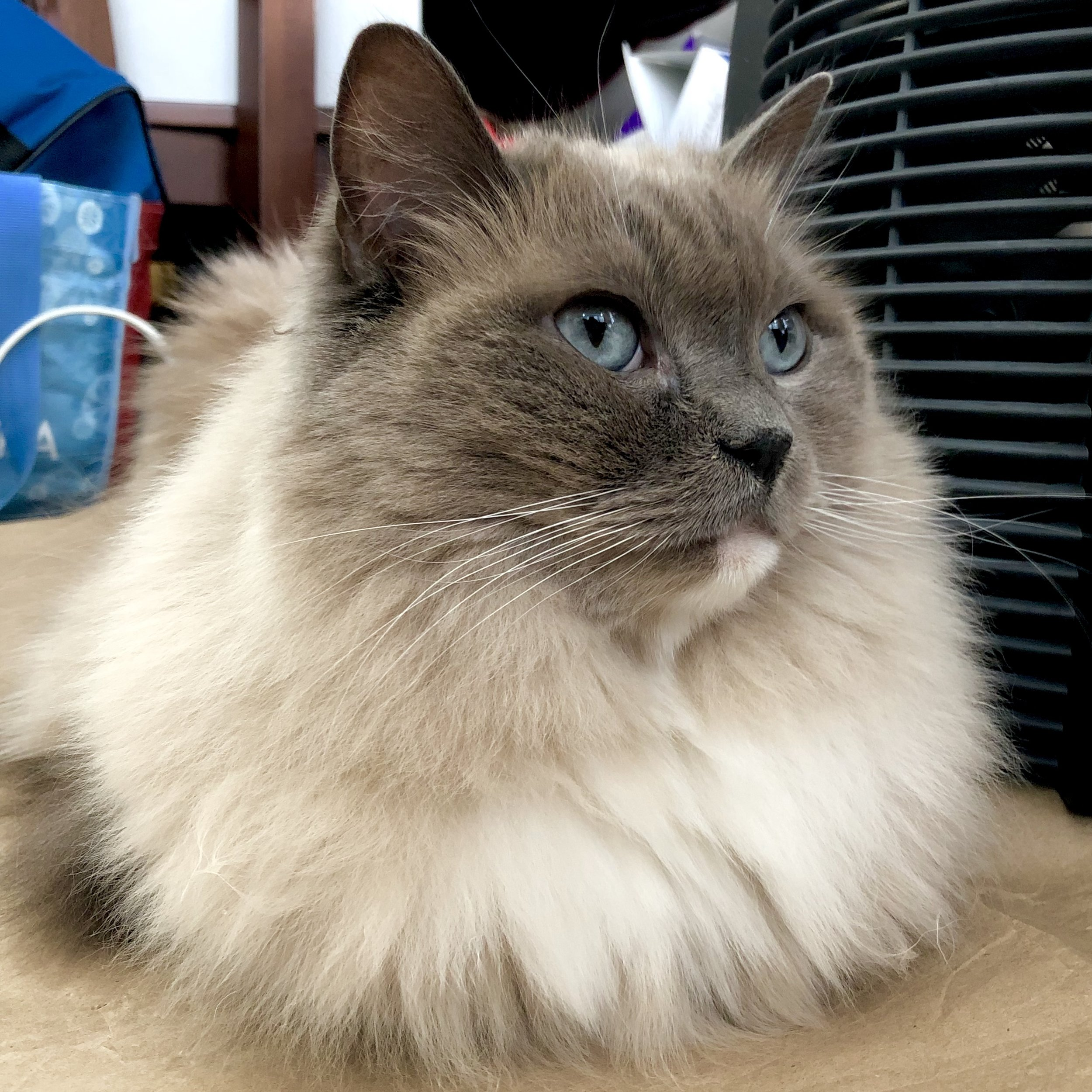 Chloe is a gorgeous little lady - just look at those beautiful blue eyes and that flowing fur! She is a welcoming conversationalist and loves attention. No need to pick her up but she would love to have a seat with you beside the area heater.