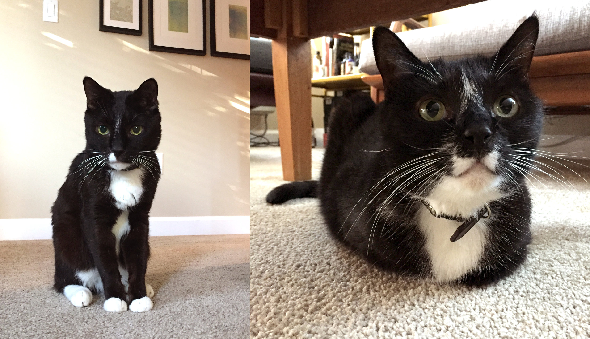 "Hayate (left) and Nimue (right) a.k.a. the sibling ""Tuxedo Junction"" - may be getting on in years but they're instantly transported back to kittenhood whenever the mouse toy is out and about! When the sun sets, be ready to cuddle."