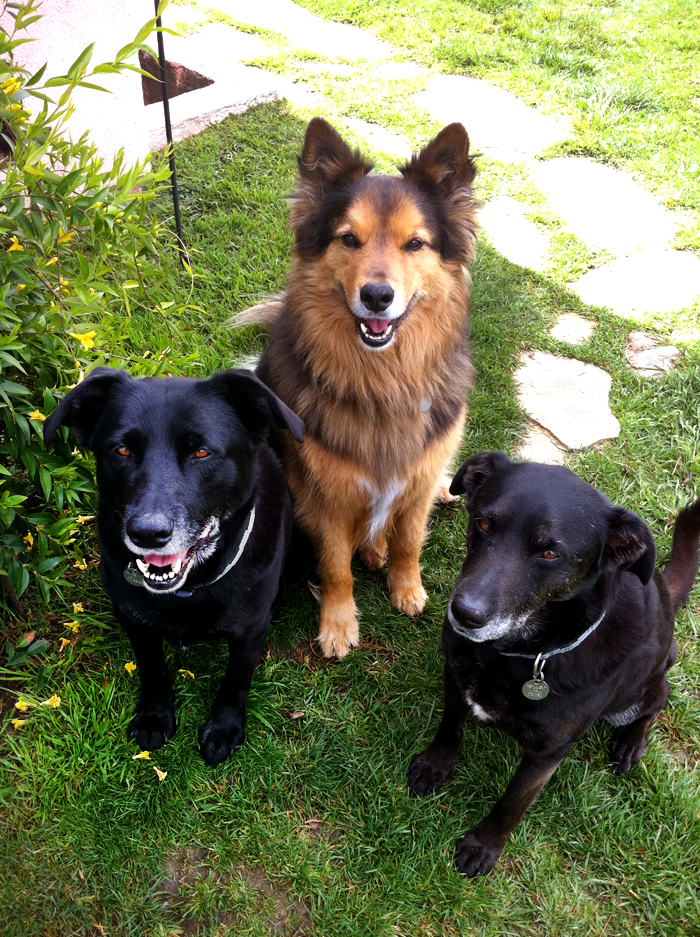 (L to R) Sirus, Rioux & Kashmir   My dad noticed someone dumping two black lab puppies off down the street before they drove off. The pair of brothers ran right up to my dad and that was that. Rioux was dumped near a local airport and my mom spent weeks gaining his trust with food and water before he would come out from beneath some construction material. All three have passed on but their lives were well lived and full of love.