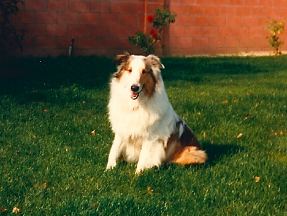 "Sparky   Our very first dog and what a dog he was! My dad returned home from his graveyard shift and found a beautiful collie sitting on the front porch with an expression that seemed to ask, ""What took you so long?"" He was so good with my sister and I and we loved to kiss and pet his long nose. We miss you Sparky."