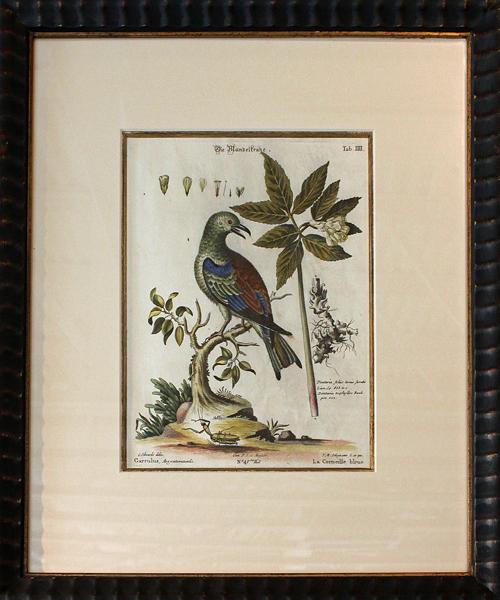 George Edwards by Seligmann: Nuremburg - 1720-62 - original color engraving