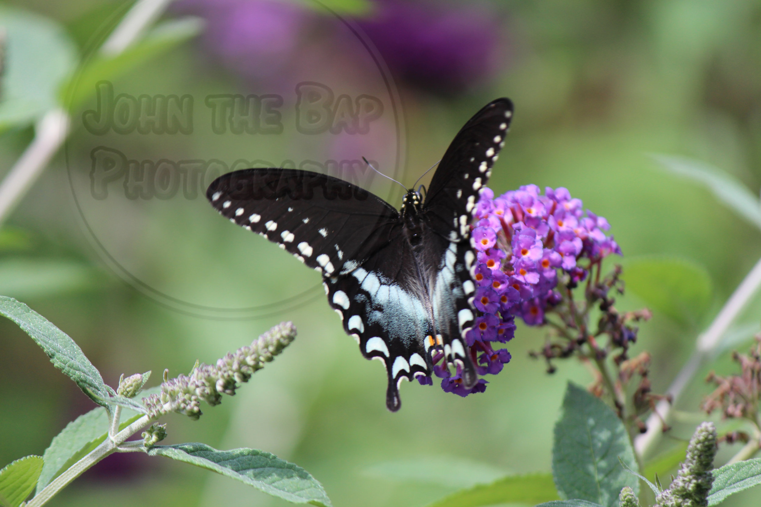 Black-Butterfly-IMG_3250-Tagged.jpg