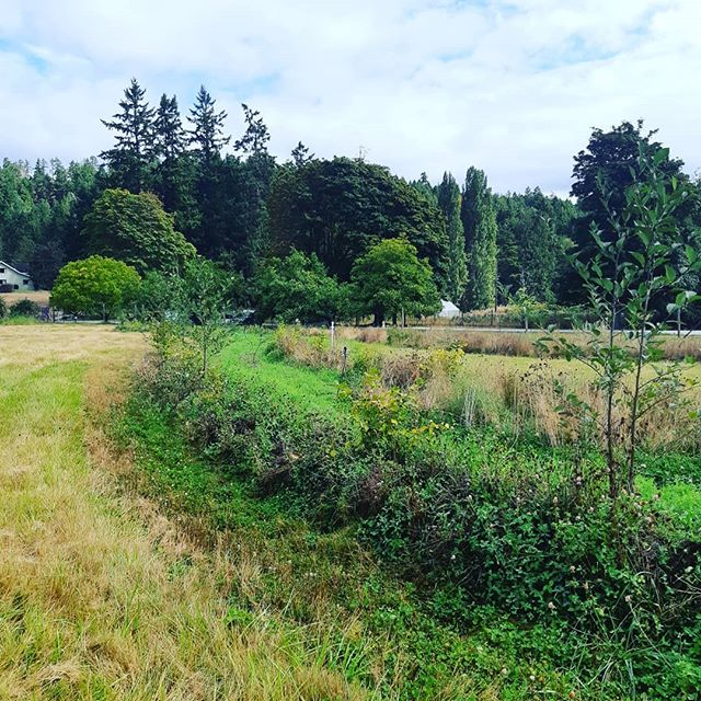 Just over a year ago I was given a tour of @rainwalkdesign food forest on Saltspring Island that he installed in Fall 2017. Today  Milo gave us another look around to see how much it has developed. Its pretty incredible to see the results.  Pic 1-3 show the on contour swales he installed that stretch right across the field. You can see on the edges what the field was like before he got involved. (Just grass). He has far too many plants to list, but it is amazing to see the diversity and how much wildlife is created with such little input.  Pic 4 & 5 are examples of species supporting one another. 4 is a Kiwi Vine growing up into a Mulberry Tree and 5 is a Grape and Autumn Olive, the olive also providing nitrogen to feed the grape!  Thanks for the tour Milo and for once again sending us off with more plants to build our small version of this paradise 🙏