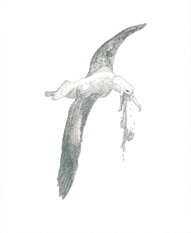albatross , ink on paper, 27in.x 22in., 2012
