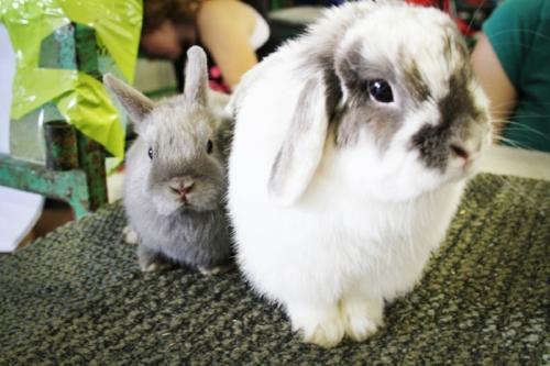 RA - Rabbits -