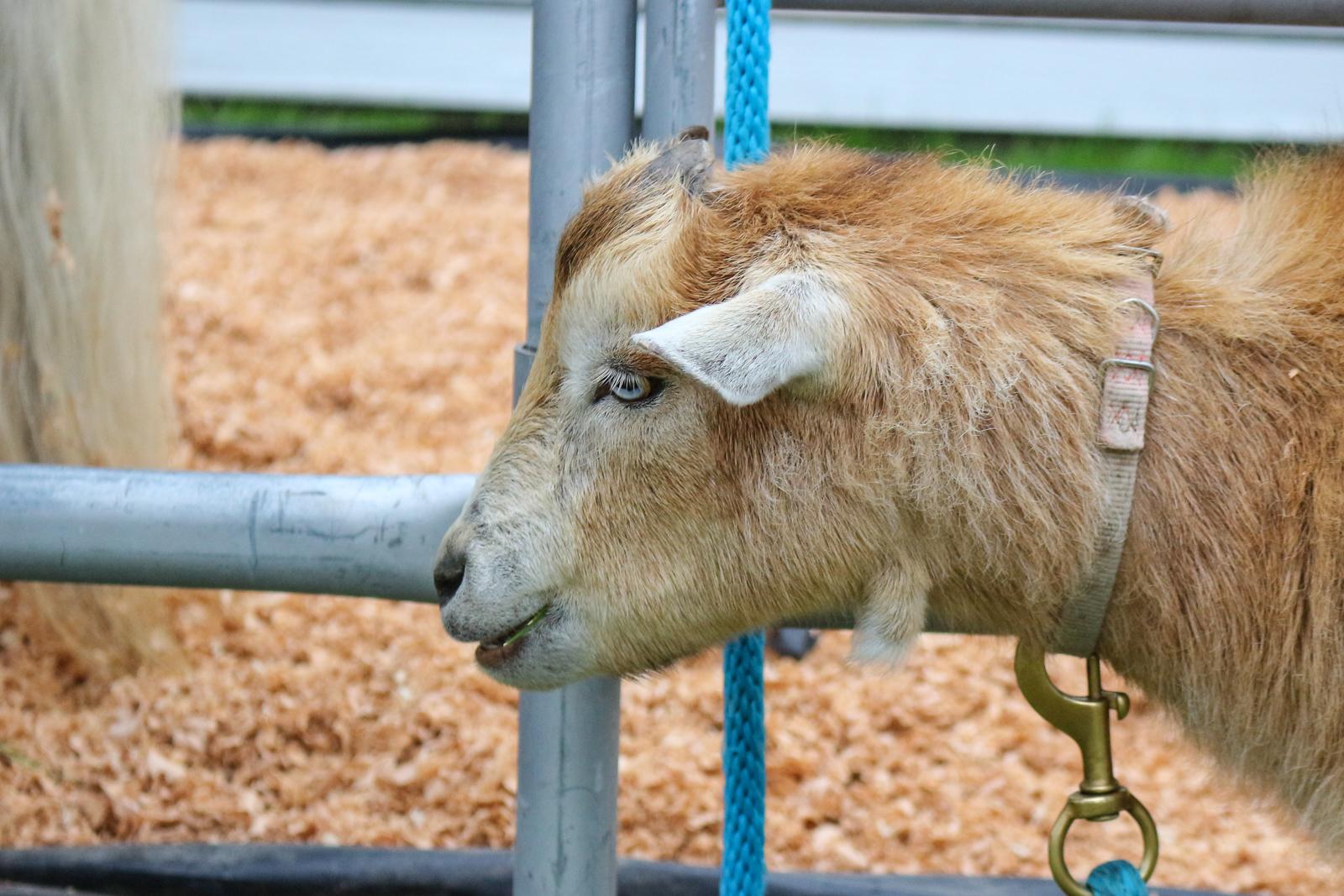 GT - Goats -